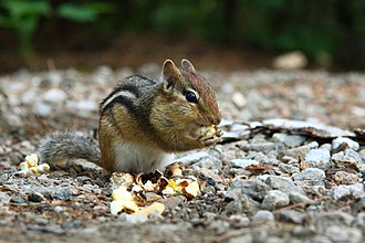 La Mauricie National Park - A Chipmunk (Tamias striatus)