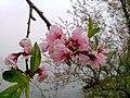 Taohua (70780273).jpeg