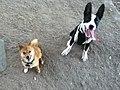 Taro the Shiba Inu sits with a Great Dane puppy.jpg