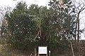 Tausendjährige Eibe in Harterleiten.jpg