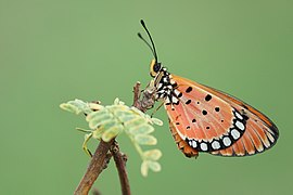 Tawny Coster - Acraea terpsicore - செவ்வந்திச்சிறகன்.jpg