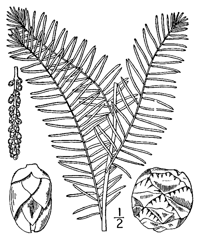 Bald cypress coloring pages ~ File:Taxodium distichum drawing.png - Wikimedia Commons