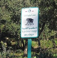 Macaque de barbarie gibraltar wikip dia - Comment manger une figue de barbarie ...