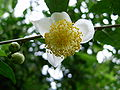 Tea flower.JPG