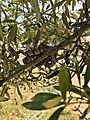 Telescopus fallax on the Olive tree.jpg