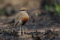 Temminck's courser, Cursorius temminckii, at Pilanesberg National Park, Northwest Province, South Africa. (44060175735).jpg