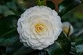 Tere schoonheid van de Camellia × williamsii 'Jury's Yellow' bloem. Locatie, Tuinreservaat Jonker vallei 01.jpg