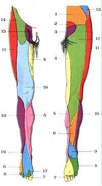 nervios de la pierna anatomia