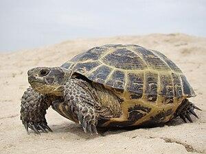 Russian tortoise - A Russian tortoise in Kazakhstan