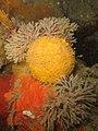 Tethya citrina - Carantec.jpg