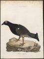 Tetrao hybridus - 1786-1789 - Print - Iconographia Zoologica - Special Collections University of Amsterdam - UBA01 IZ17100329.tif