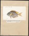 Teuthis doliata - 1700-1880 - Print - Iconographia Zoologica - Special Collections University of Amsterdam - UBA01 IZ13700085.tif