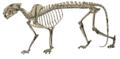 The Badland formations of the Black Hills region (1910) Dinictis skeleton.png