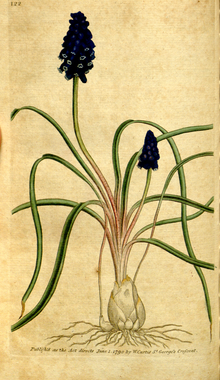 The Botanical Magazine, Plate 122 (Volume 4, 1791).png