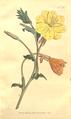 The Botanical Magazine, Plate 365 (Volume 11, 1797).png