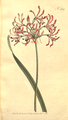 The Botanical Magazine, Plate 369 (Volume 11, 1797).png