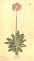 The Botanical Magazine, Plate 392 (Volume 11, 1797).png