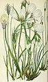 The British grasses and sedges (1858) (14763995325).jpg