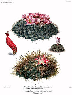 The Cactaceae Vol III, plate VIII filtered.jpg