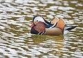 The Mandarin Duck of St. Ferdinand Park (30827723847).jpg