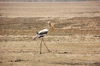 The Painted Stork.jpg