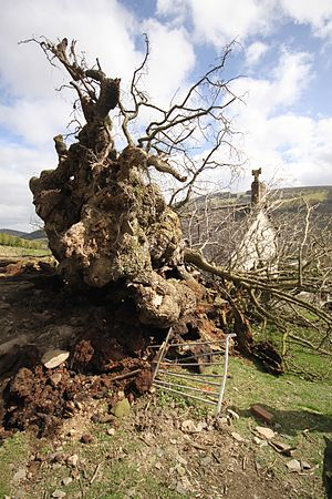 The Pontfadog Oak - fallen.jpg
