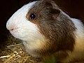 The baby Guinea pig.jpg