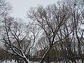 The big old poplar. February 2014. - Большой старый тополь. Февраль 2014. - panoramio.jpg