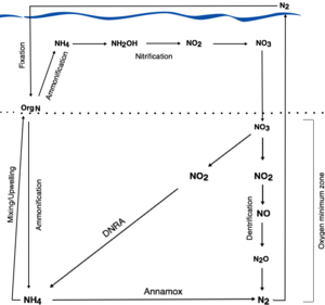 Dissimilatory nitrate reduction to ammonium - The oceanic nitrogen cycle with the role of DNRA. Blue line represents the ocean surface, with the atmosphere above. Notice how NH4 produced by DNRA can be taken up by biota and converted into organic nitrogen, while N2 produced by denitrification is removed from the system, and may only re-enter via nitrogen fixation. It should also be noted that organisms undertaking denitrification and DNRA compete for NO3 and the balance of the two processes depends on the abiotic and biotic conditions of the ecosystem (see section 'DNRA in the Marine Context', subheading 'Ecological Role').