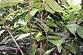 Theobroma cacao 34zz.jpg