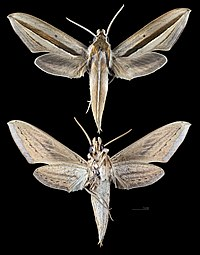 Theretra silhetensis MHNT CUT 2010 0 305 Phu Phan National Park Thailand male.jpg