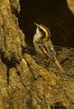 Thorn-tailed Rayadito - Chile (16564250758).jpg