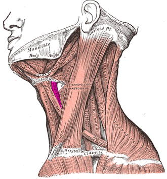 Thyrohyoid muscle - Muscles of the neck. Lateral view. (Thyrohyoideus labeled center-left.)