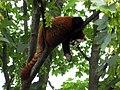 Tiergarten Schoenbrunn Kleiner Panda 1.jpg