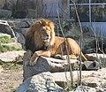 Tierpark Hellabrunn Muenchen Loewe-1.jpg
