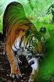 Tiger in mysore zoo - karnataka.jpg