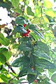 Tiliacora acuminata-Tapering-Leaf Tiliacora, Vallikanjiram, vallikannimaram. 3.jpg