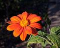 Tithonia rotundifolia - Fleur.jpg