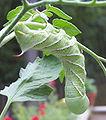 Tobacco-hornworm.jpg