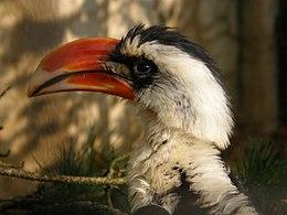 Tockus deckeni (Male) -Antwerp Zoo-8