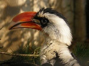 Von der Decken's hornbill - Image: Tockus deckeni (Male) Antwerp Zoo 8