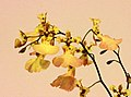 Tolumnia Jiaho Rainbow x Comparettia macroplectron -台南國際蘭展 Taiwan International Orchid Show- (40744407542).jpg