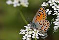 Tomares nogelii - Butterflies of Turkey.jpg