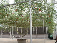 https://upload.wikimedia.org/wikipedia/commons/thumb/a/aa/Tomatotree.JPG/220px-Tomatotree.JPG