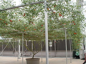 The tomato tree as seen by guests on the Living with the Land boat ride at Epcot, Lake Buena Vista, Florida.