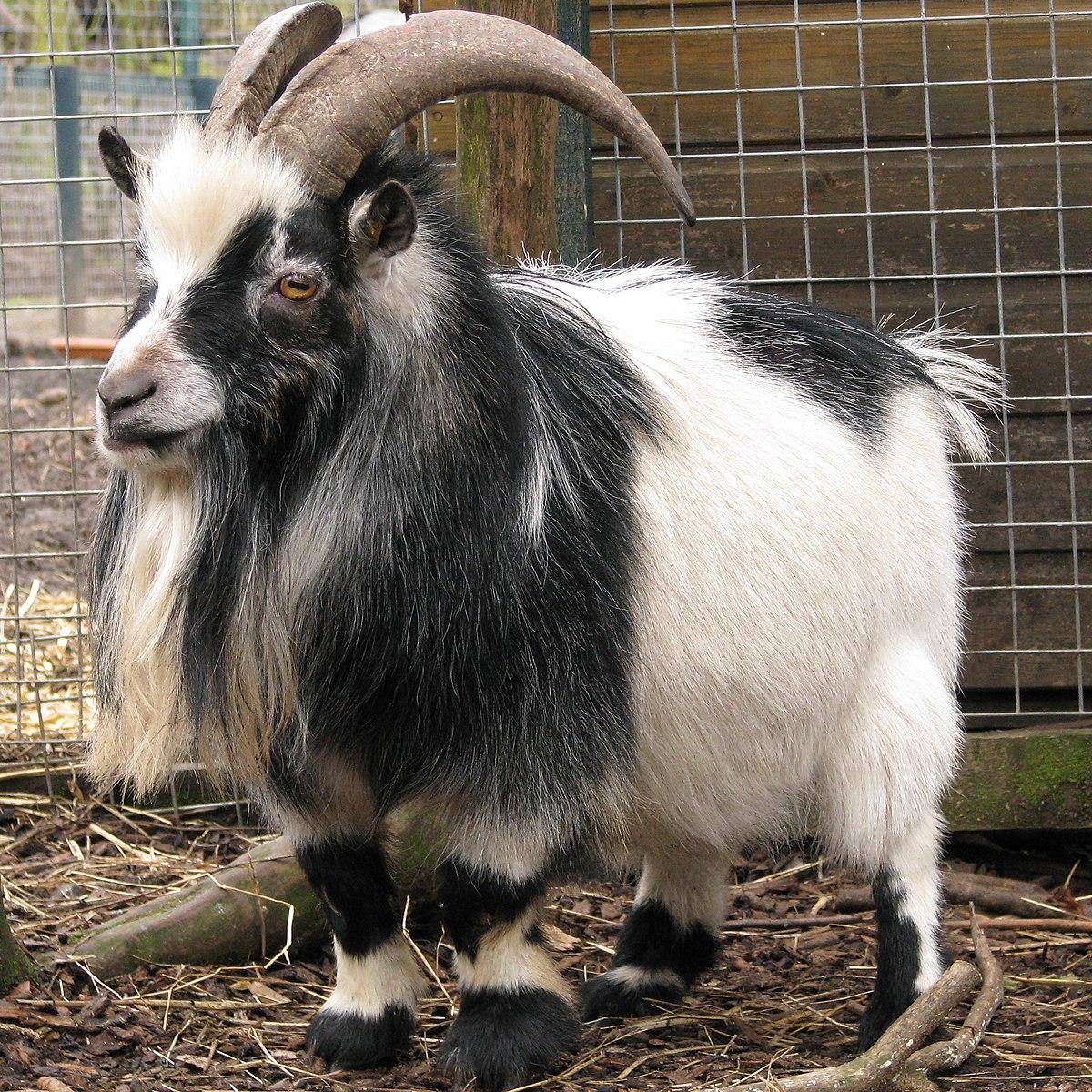 Single horned goat