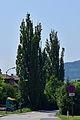 Traisen - Naturdenkmal LF-047 - zwei Zitterpappeln (Populus tremula) - 1.jpg