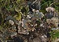 Trametes versicolor (Turkey tail) - Flickr - S. Rae.jpg