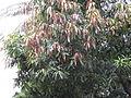 Tree, Mango with tender leaves.jpg