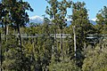Treetop Walkway through rimu forest in front of snow-covered Mt Beaumont and Southern Alps.jpg